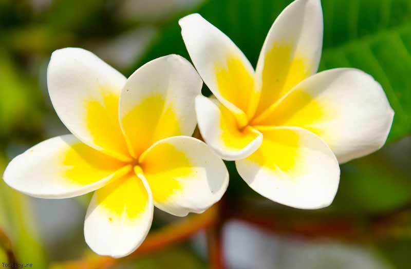 Fleur De Tiare Universite De La Nouvelle Caledonie